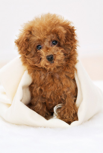 PUP 48 YT0002 01 © Kimball Stock Toy Poodle Puppy Sitting In White Blanket