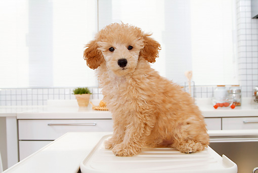 PUP 48 YT0003 01 © Kimball Stock Toy Poodle Puppy Sitting On Kitchen Counter