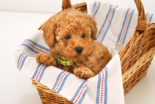 PUP 48 YT0004 01 © Kimball Stock Toy Poodle Puppy Sitting In Wicker Basket