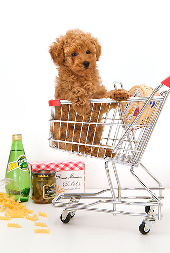 PUP 48 YT0005 01 © Kimball Stock Toy Poodle Puppy Sitting In Shopping Cart