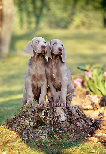 PUP 49 CB0003 01 © Kimball Stock Two Weimaraner Puppies Sitting On Stump