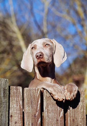 PUP 49 CB0004 01 © Kimball Stock Weimaraner Puppy Leaning On Wooden Fence