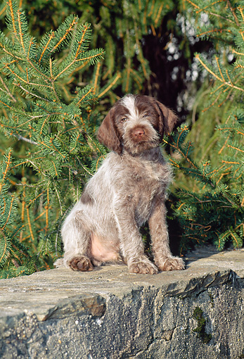 PUP 50 CE0005 01 © Kimball Stock Wirehaired Pointing Griffon Puppy Sitting On Rock Wall By Pine Trees