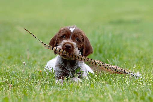 PUP 50 DB0001 01 © Kimball Stock Wirehaired Pointing Griffon Puppy Laying In Grass Holding Pheasant Feather