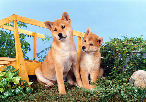 PUP 50 FA0007 01 © Kimball Stock Shiba Inu Puppies Sitting On Grass By Shrubs