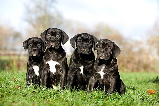 PUP 50 GL0002 01 © Kimball Stock Cane Corso Puppies Sitting On Grass