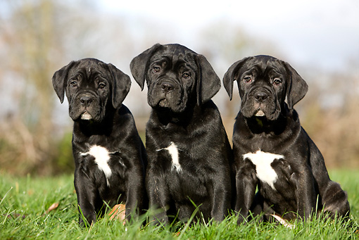 PUP 50 GL0004 01 © Kimball Stock Three Cane Corso Puppies Sitting On Grass