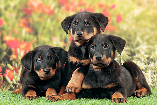 Three Beauceron Puppies Laying On Grass In Garden Kimballstock