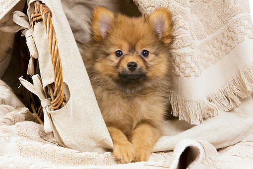 PUP 50 JE0012 01 © Kimball Stock Dwarf Spitz Puppy Laying In Basket Of Towels