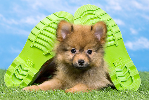 PUP 50 JE0013 01 © Kimball Stock Dwarf Spitz Puppy Laying On Lawn Between Two Green Shoes