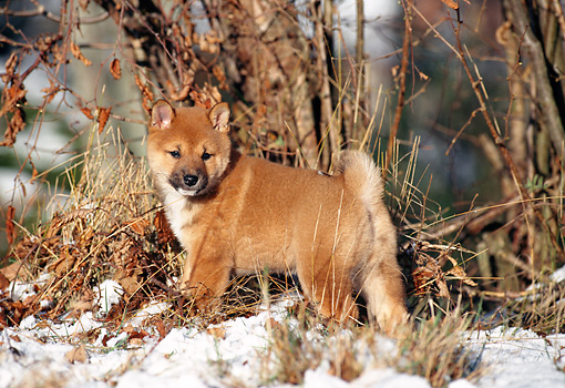 PUP 50 KH0006 01 © Kimball Stock Shiba Inu Puppy Standing In Snow In Forest