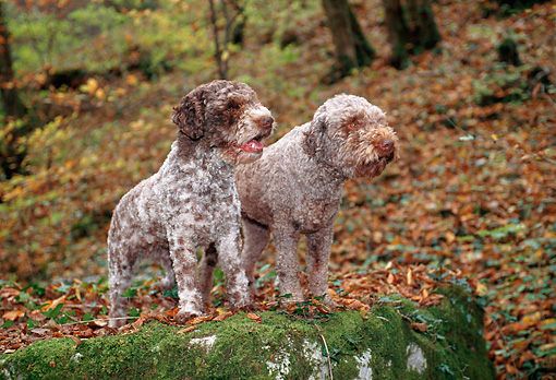 PUP 50 KH0007 01 © Kimball Stock Lagotto Romagnolo Puppies Standing On Moss Covered Rock In Forest