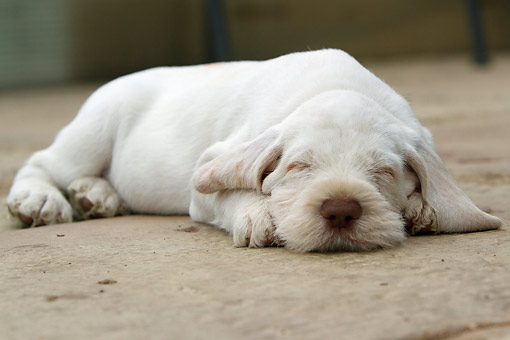 PUP 50 NR0001 01 © Kimball Stock Italian Spinone Puppy Laying