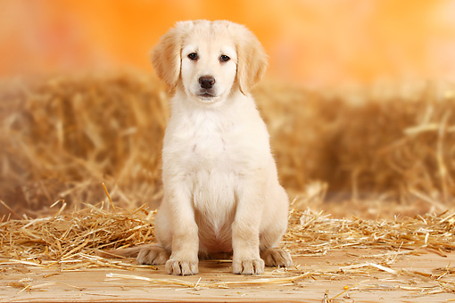 PUP 50 PE0001 01 © Kimball Stock Hovawart Puppy Sitting By Bales Of Hay
