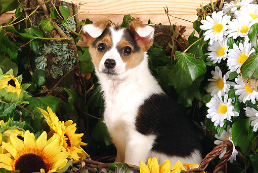 PUP 50 SJ0001 01 © Kimball Stock Norweigan Lundehund Puppy Sitting By Daisies And Sunflowers