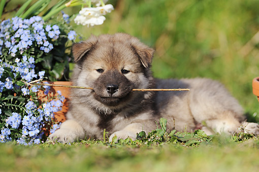 PUP 50 SS0006 01 © Kimball Stock Eurasier Puppy Laying In Grass With Stick In Mouth