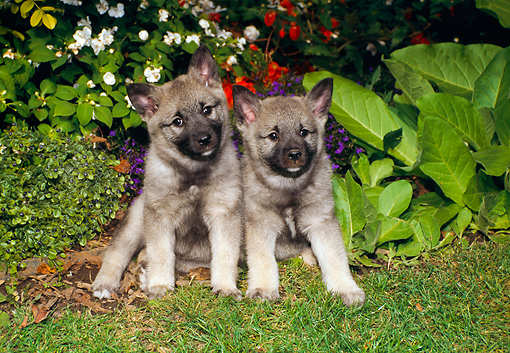PUP 50 FA0002 01 © Kimball Stock Two Norwegian Elkhound Puppies Sitting On Grass By Plants