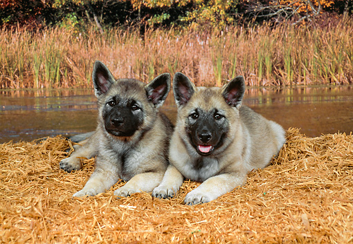 PUP 50 FA0003 01 © Kimball Stock Two Norwegian Elkhound Puppies Laying By Stream
