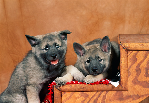 PUP 50 FA0004 01 © Kimball Stock Two Norwegian Elkhound Puppies Sitting And Laying On Wooden Steps