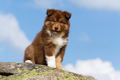 PUP 50 KH0002 01 © Kimball Stock Finnish Lapphund Puppy Sitting On Rock
