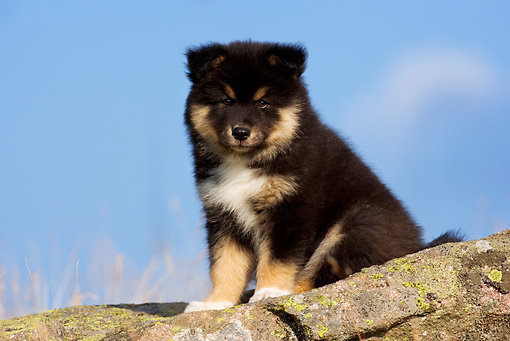 PUP 50 KH0004 01 © Kimball Stock Finnish Lapphund Puppy Sitting On Rock