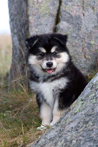 PUP 50 KH0005 01 © Kimball Stock Finnish Lapphund Puppy Sitting By Boulders