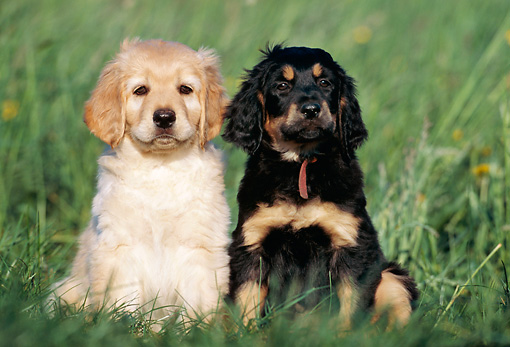PUP 50 SS0002 01 © Kimball Stock Two Hovawart Puppies Sitting On Grass