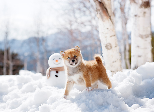 PUP 50 YT0001 01 © Kimball Stock Shiba Inu Puppy Standing On Snow By Snowman