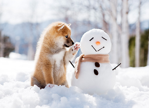 PUP 50 YT0002 01 © Kimball Stock Shiba Inu Puppy Sitting On Snow By Snowman