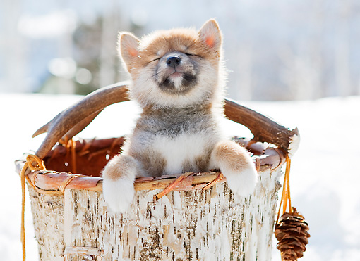 PUP 50 YT0003 01 © Kimball Stock Shiba Inu Puppy Standing In Wooden Bucket