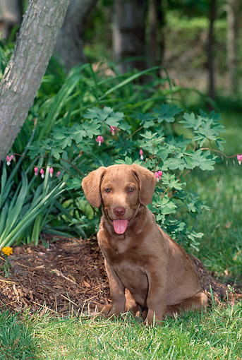 PUP 51 CE0005 01 © Kimball Stock Chesapeake Bay Retriever Puppy Sitting On Grass By Flowers