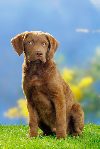 PUP 51 PE0003 01 © Kimball Stock Chesapeake Bay Retriever Puppy Sitting On Grass