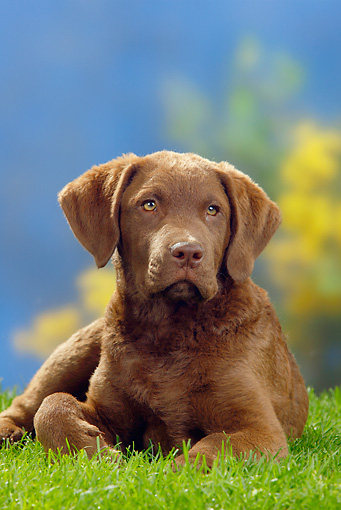 PUP 51 PE0004 01 © Kimball Stock Chesapeake Bay Retriever Puppy Laying On Grass