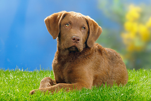 PUP 51 PE0005 01 © Kimball Stock Chesapeake Bay Retriever Puppy Laying On Grass