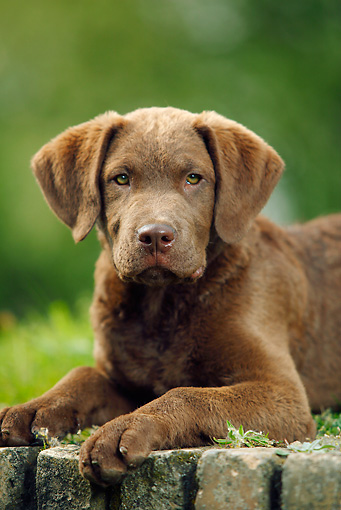 PUP 51 PE0006 01 © Kimball Stock Chesapeake Bay Retriever Puppy Laying On Brick