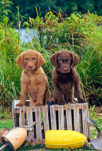 PUP 51 CE0001 01 © Kimball Stock Two Chesapeake Bay Retriever Puppies Sitting On Crate By Buoys And Shrubs