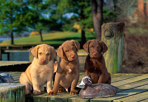 PUP 51 CE0002 01 © Kimball Stock Three Chesapeake Bay Retriever Puppies Sitting On Dock With Decoy