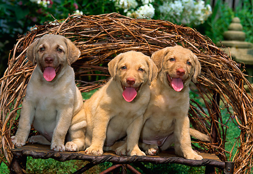 PUP 51 CE0003 01 © Kimball Stock Three Chesapeake Bay Retriever Puppies Sitting On Twig Bench