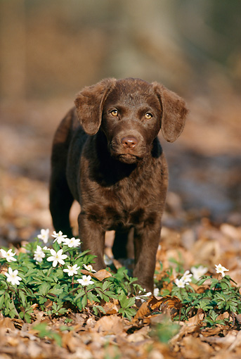 PUP 51 SS0002 01 © Kimball Stock Chesapeake Bay Retriever Puppy Standing On Fallen Leaves By White Flowers