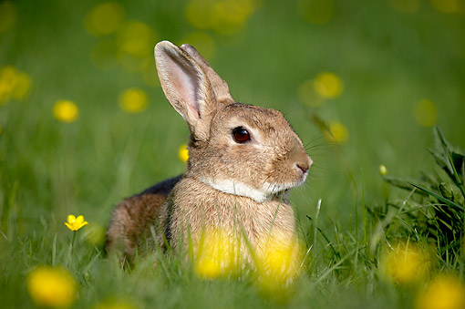 RAB 01 GL0001 01 © Kimball Stock European Rabbit Sitting In Grass And Flowers, Normandy, France