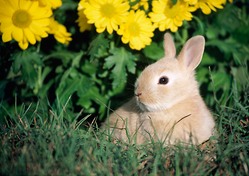 RAB 01 GR0005 02 © Kimball Stock Domestic Baby Rabbit By Tall Grass And Yellow Flower