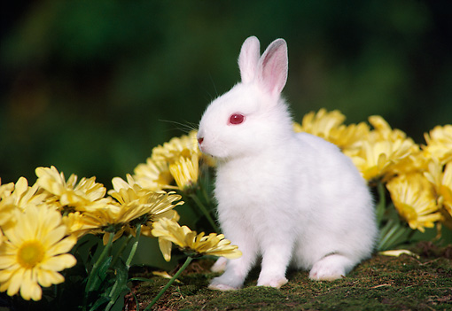 RAB 01 GR0010 01 © Kimball Stock Domestic Albino Baby Dwarf Rabbit By Yellow Flowers