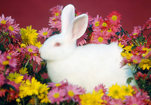 RAB 01 GR0058 01 © Kimball Stock Domestic Albino Rabbit By Flower Arrangment