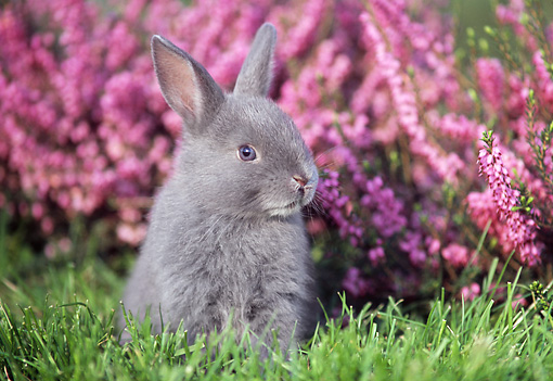 RAB 01 GR0093 03 © Kimball Stock Netherland Dwarf Rabbit On Grass By Flowers