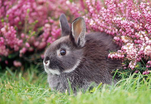 RAB 01 GR0103 02 © Kimball Stock Netherland Dwarf Rabbit On Grass By Flowers