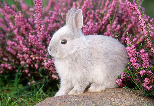 RAB 01 GR0110 02 © Kimball Stock Netherland Dwarf Rabbit On Rock By Flowers