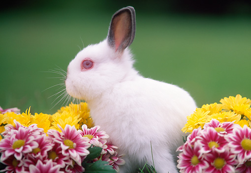 RAB 01 GR0114 01 © Kimball Stock Netherland Dwarf Rabbit By Flowers