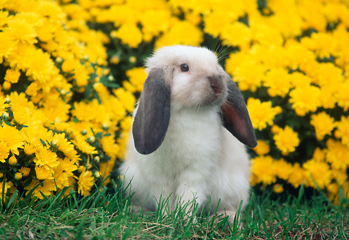 RAB 01 GR0119 01 © Kimball Stock Holland Lop Rabbit On Grass By Flowers