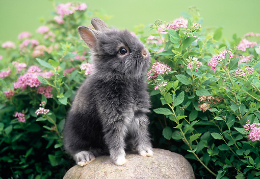 RAB 01 GR0126 02 © Kimball Stock Lionhead Rabbit On Rock By Flowers