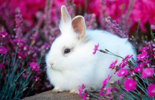 RAB 01 GR0135 01 © Kimball Stock Lionhead Rabbit On Rock By Flowers